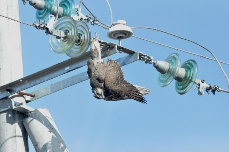 Raptor Protection on Powerlines