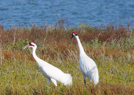 Whooping Cranes colliding with Power Lines